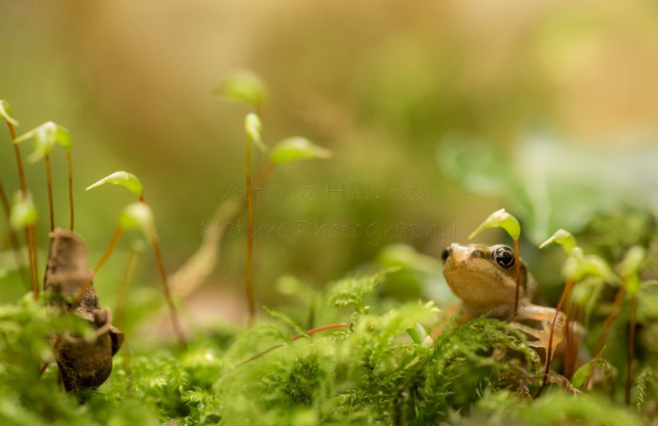 Froglet in The Moss