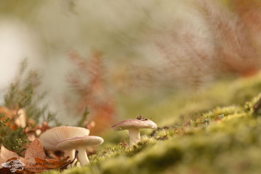 Fungi and Heather