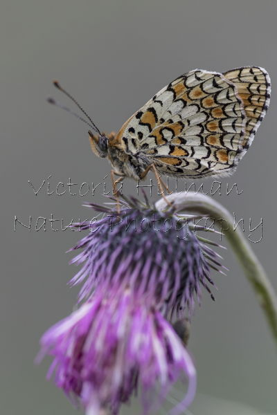 Glanville Fritillary Butterfly