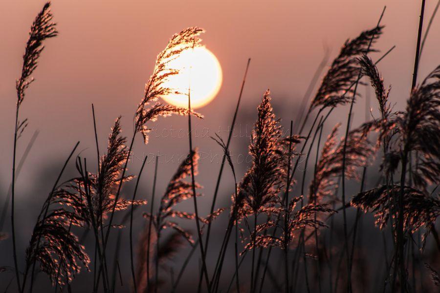 Glowing Reeds