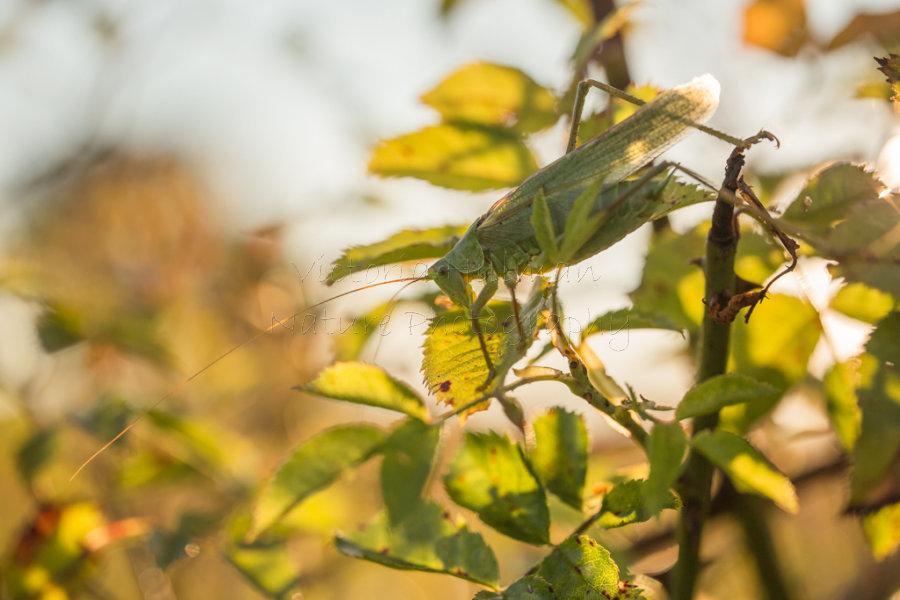 Great Green Bush Cricket