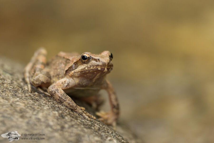 Greek Stream Frog