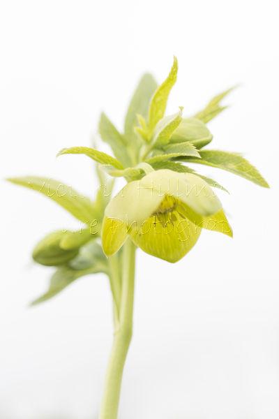 Helleborus viridis (Green hellebore)