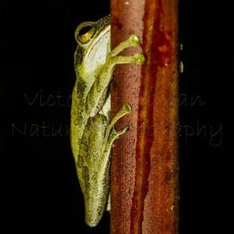 Hiding - Dark-eared Tree Frog (Polypedates macrotis), Borneo