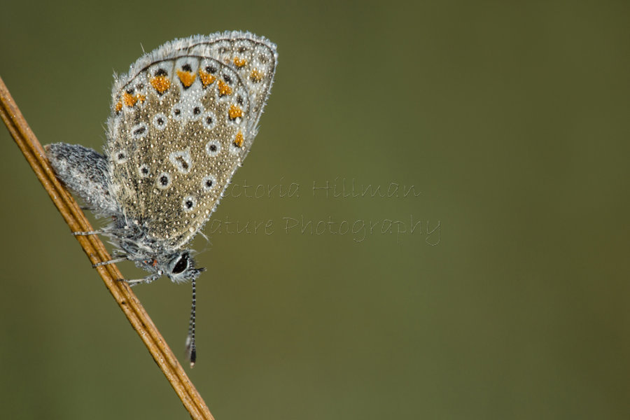 Jewelled Common Blue