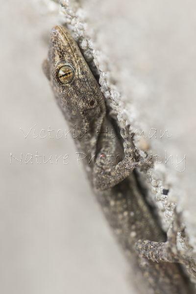 Kotschy's Gecko (Mediodactylus kotschyi)