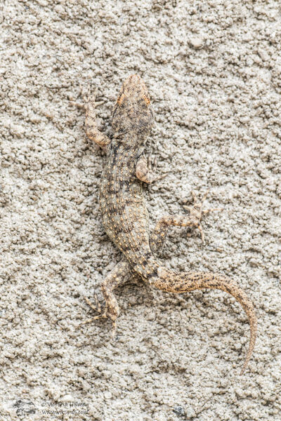 Kotschy's gecko camouflage