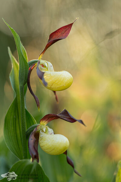 Lady's Slipper Orchid 1