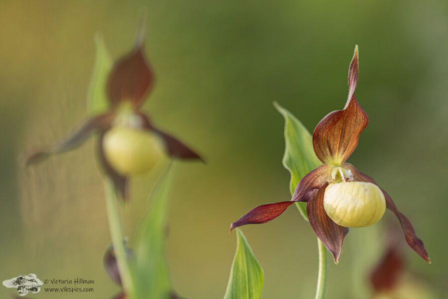 Lady's Slipper Orchid 2