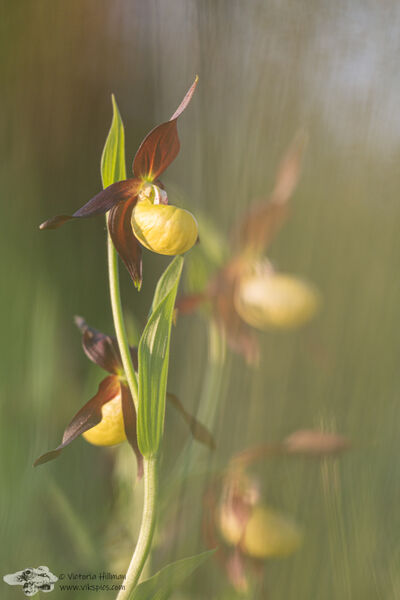 Lady's Slipper Orchid 3