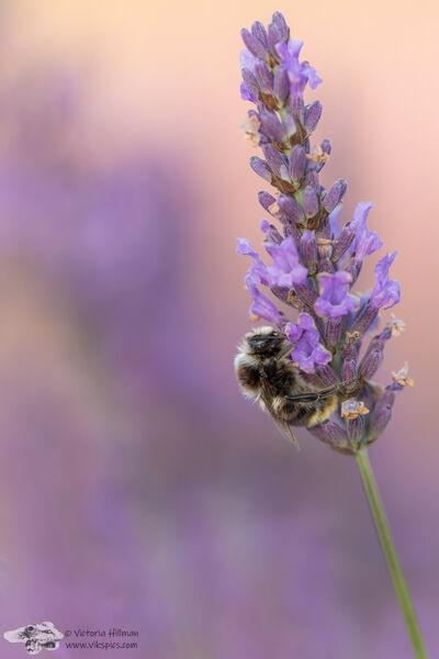 Lavendar Bee 1