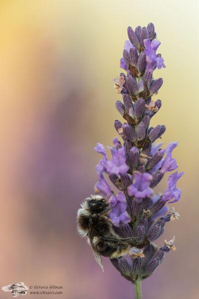Lavendar Bee 2