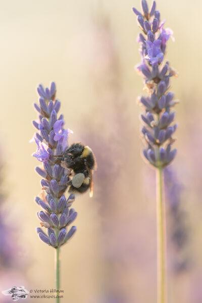 Lavendar Bee 3