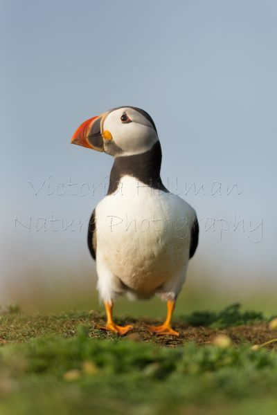 Majestic Puffin
