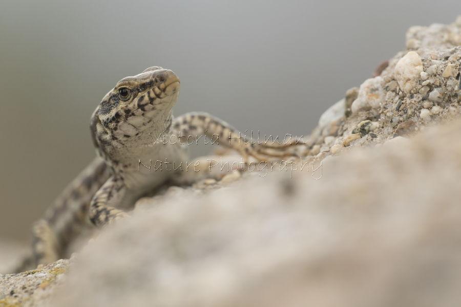 Erhard's wall lizard (Podarcis erhardii)