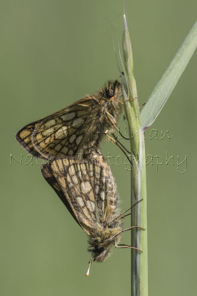 Mating Chequered Skippers