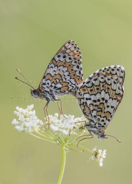 Mating Glanville Fritillary Butterflies