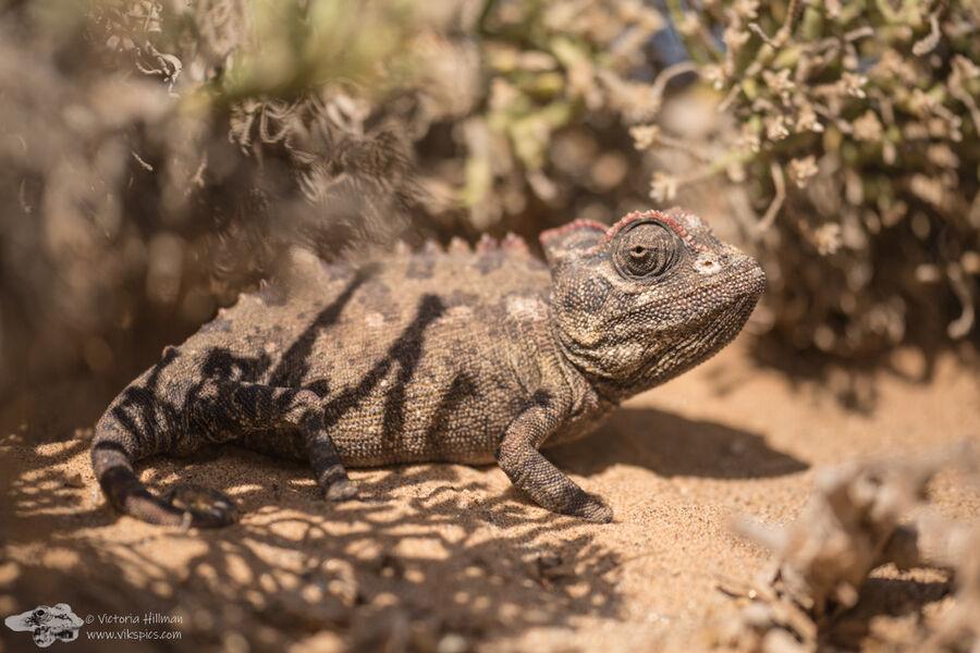 Namanqua Chameleon