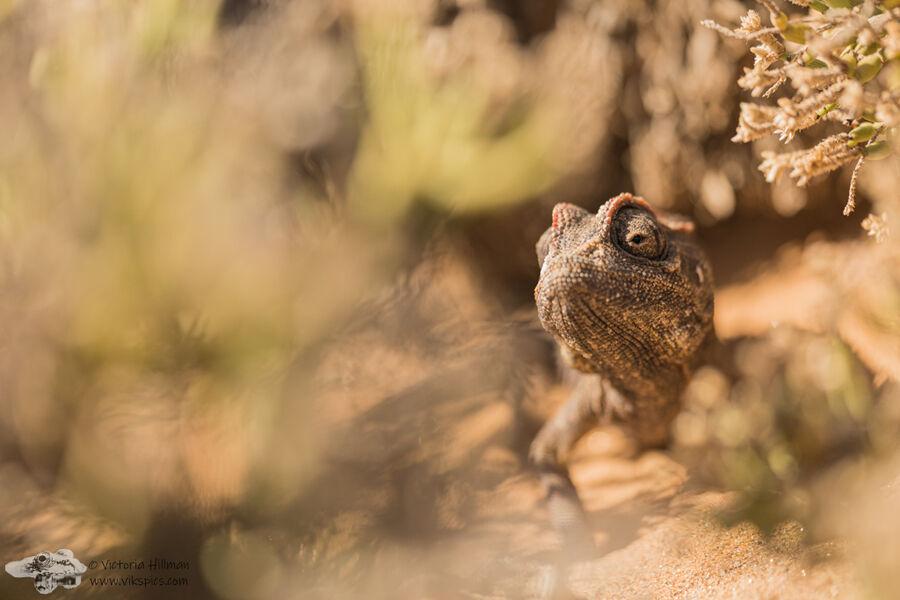 Namanqua chameleon habitat