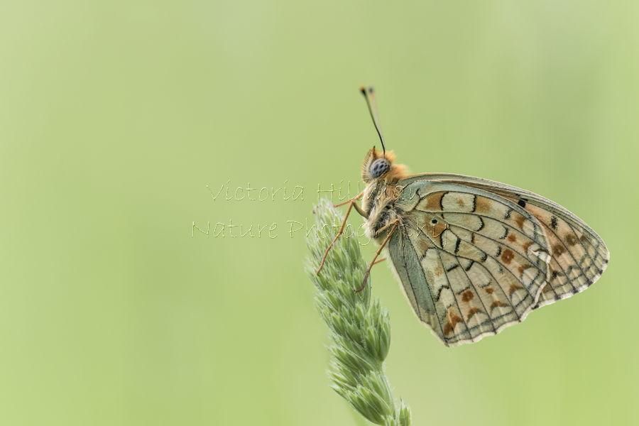 Niobe Fritillary Butterfly