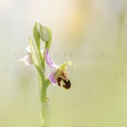 One Single Bee Orchid