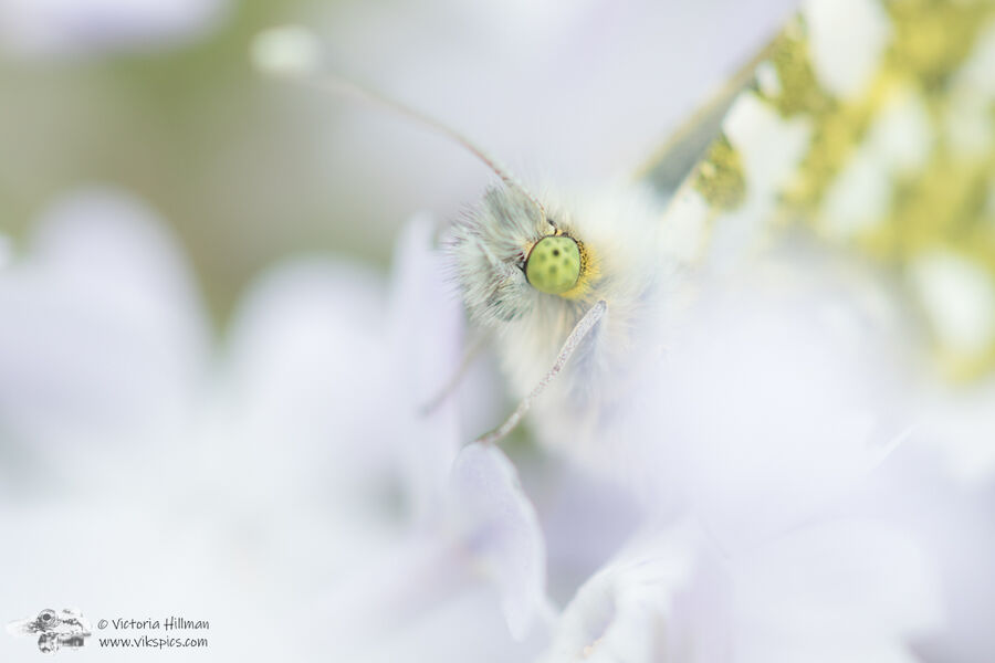 Orange tip eye