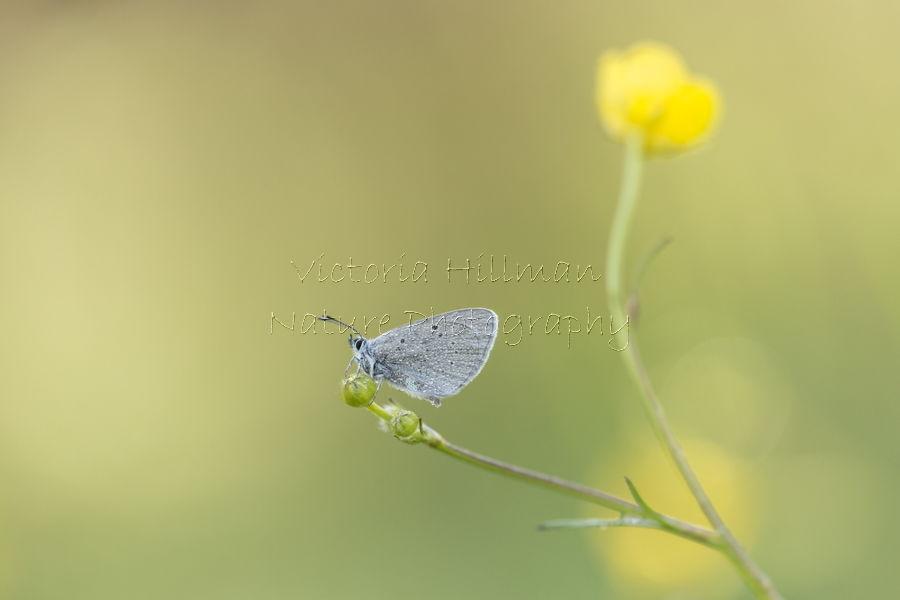 Osiris Blue Butterfly