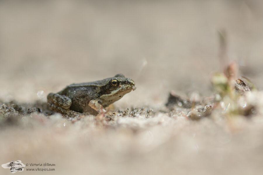 Sand Froglet