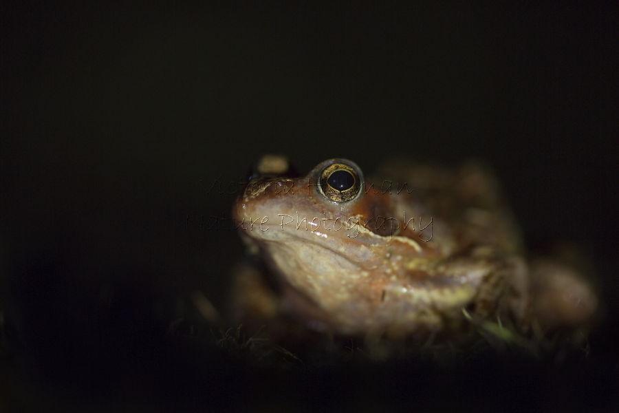 Skomer Frog