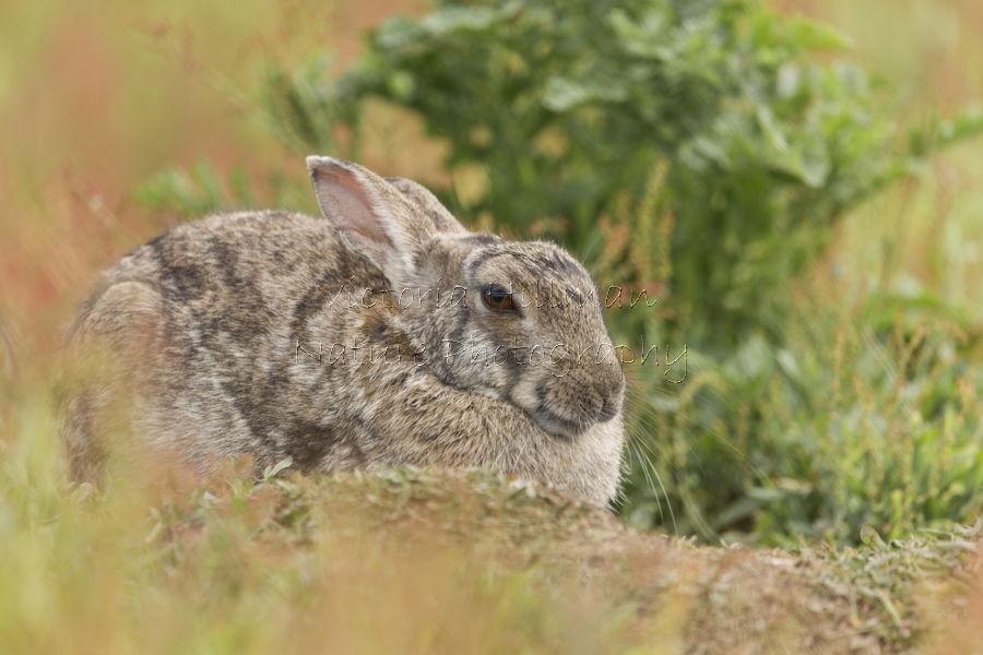 Skomer Rabbit