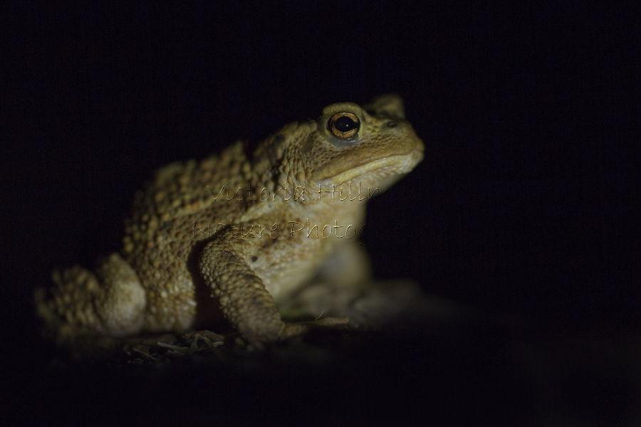 Skomer Toad