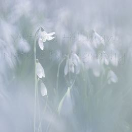 Snowdrop Dreams