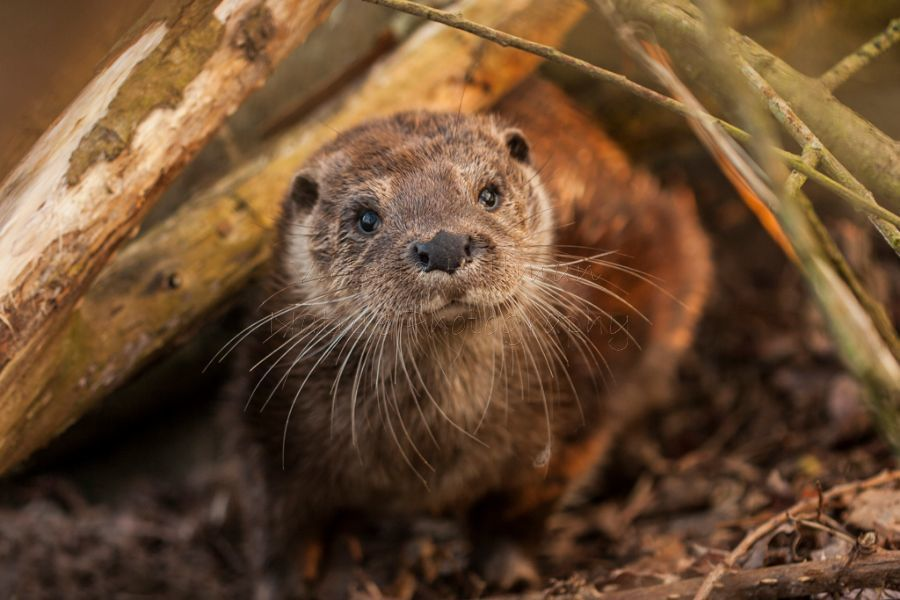 Somerset Otter