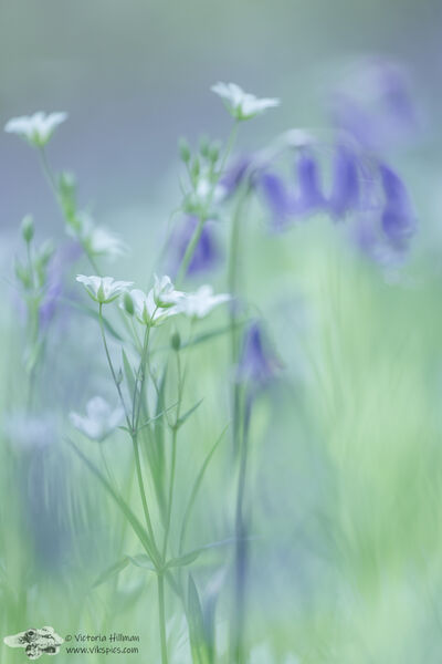 Stitchwort and Bluebells 1