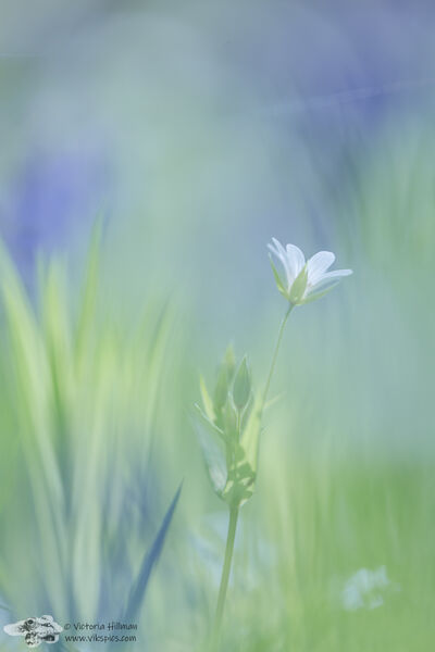 Stitchwort and Bluebells 2