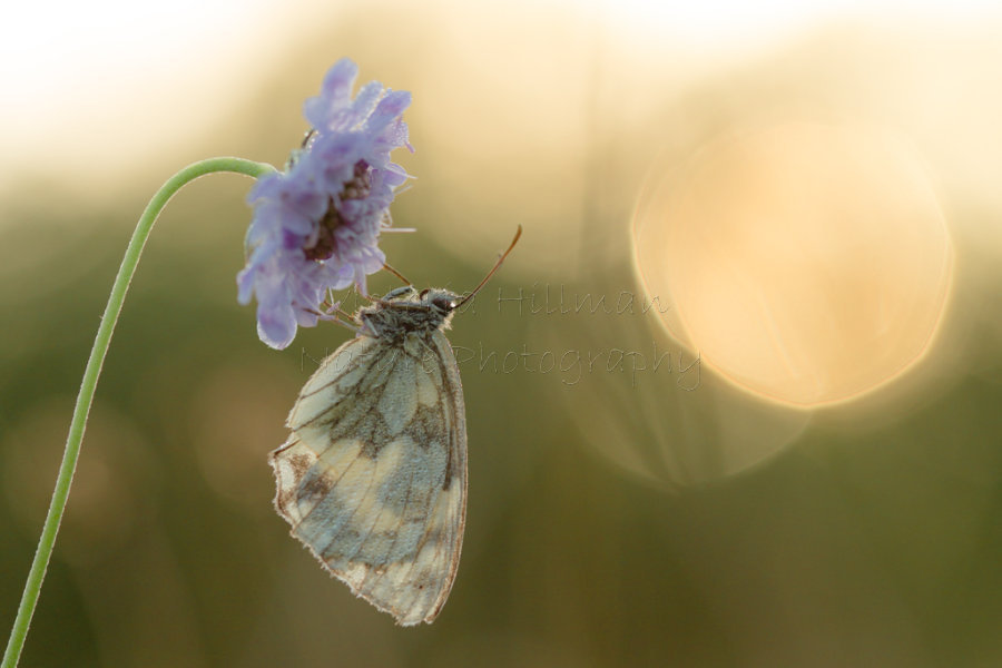 Sunrise Dreams - Marbled White Butterfly (Melanargia galathea) in a dreamy sunrise world