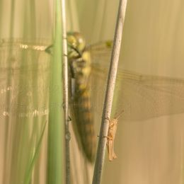 The Grasshopper and The Dragonfly