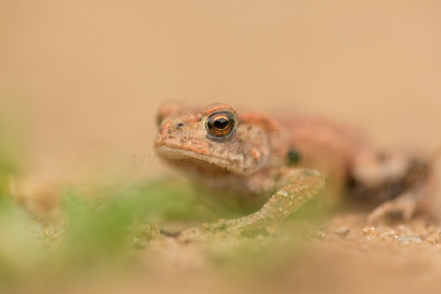 Toadlet In The Sand - Common Toad (Bufo bufo)