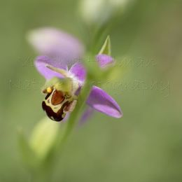 Whimsical Bee Orchid