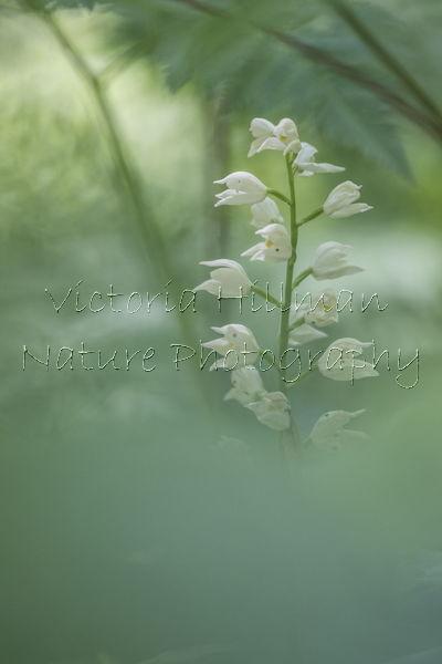 White Helleborine Orchid