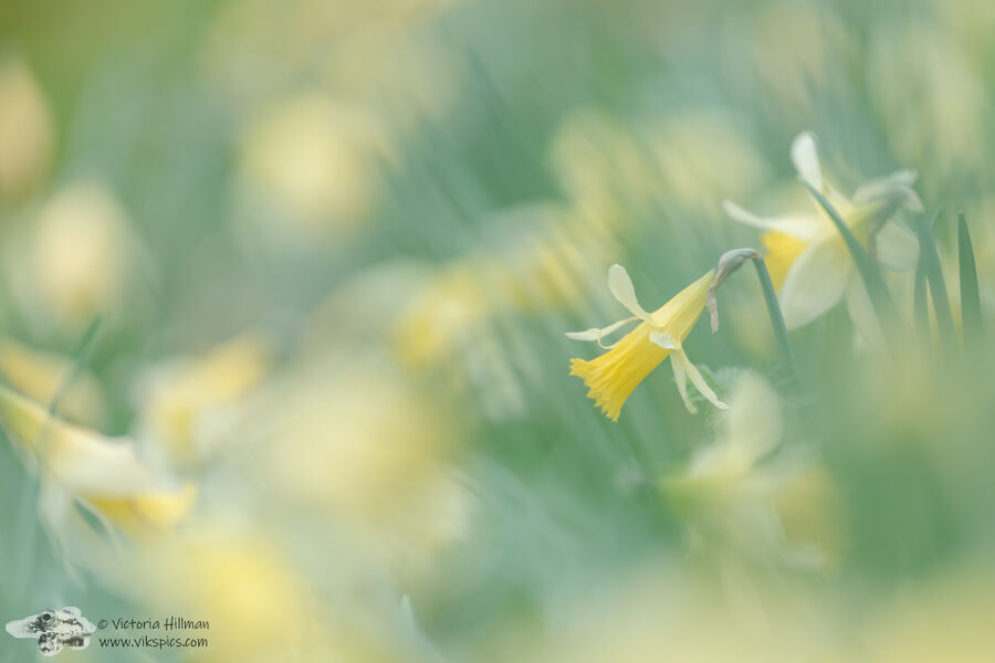 Wild Daffodials 2