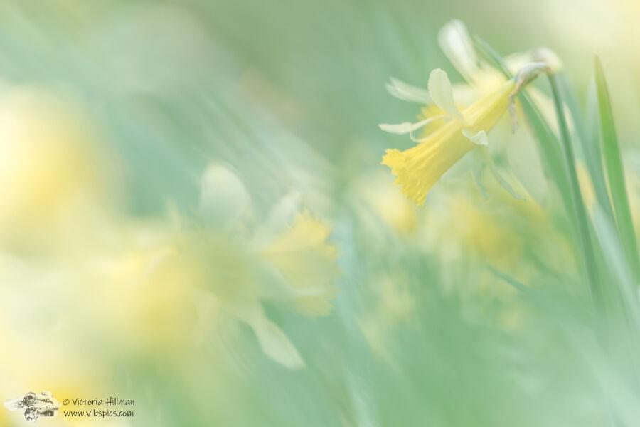 Wild Daffodils 1