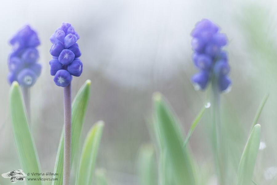 Wild Grape Hyacinth