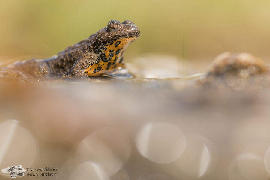 Yellow bellied toad 1
