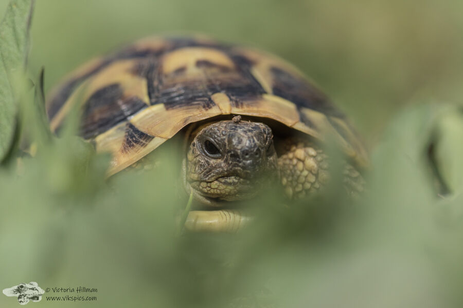 Young Hermans Tortoise