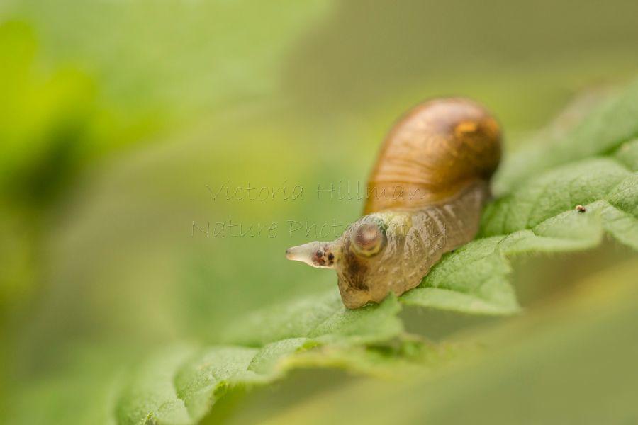 Zombie Snail