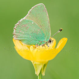 Butterfly in a Buttercup