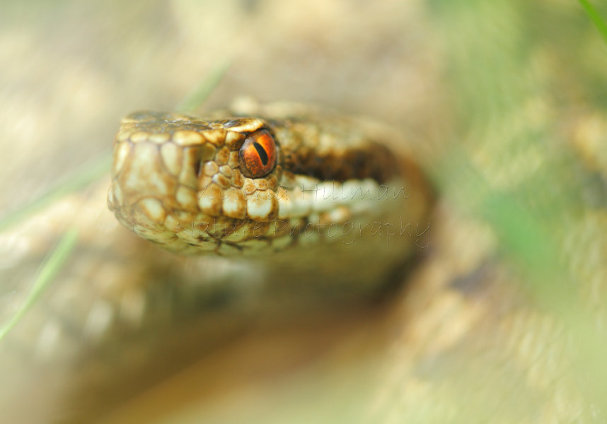 Adder's Eye