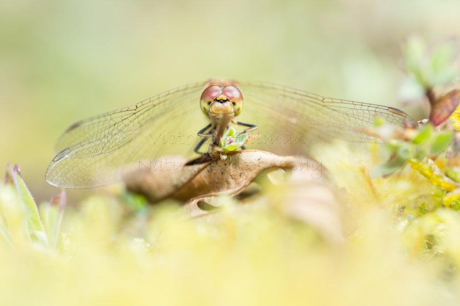 Sleepy Dragonfly