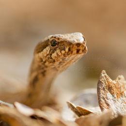 Leaf Litter Snake